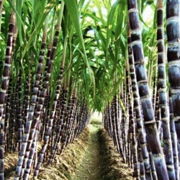 sucre de canne liquide issu de l'agriculture biologique